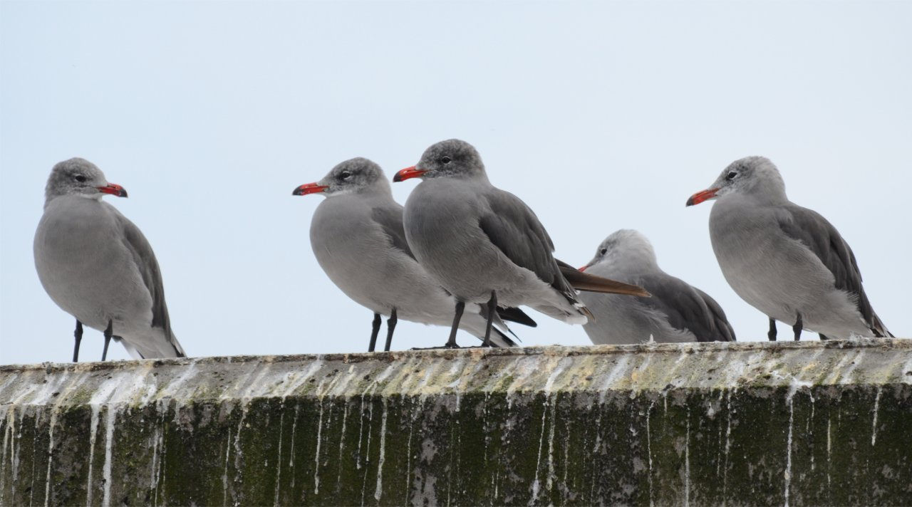 01 Heermann's Gulls at launch.JPG