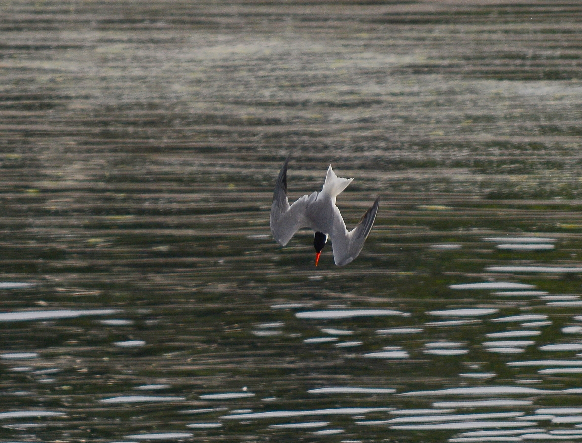 02 Caspian tern diving.JPG