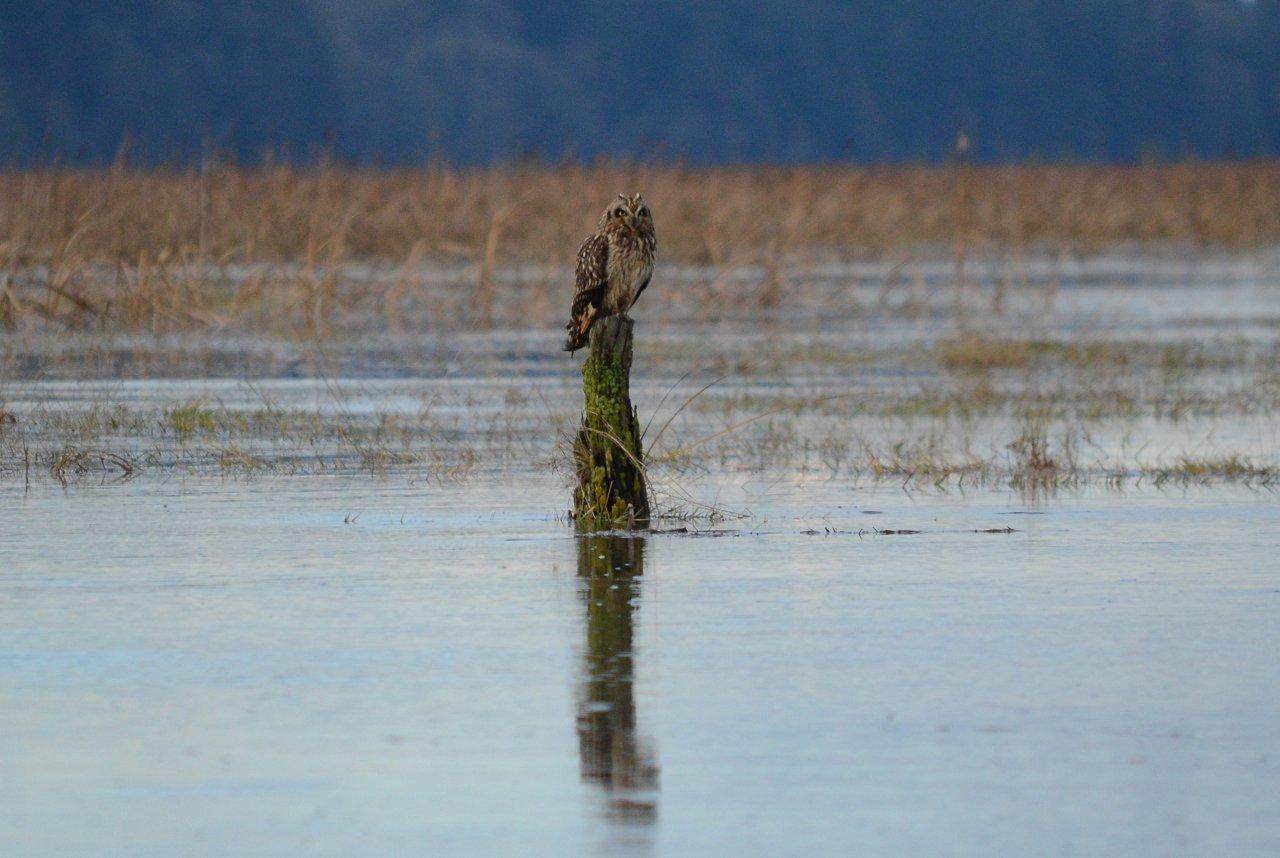 06 Short-eared owl.jpg