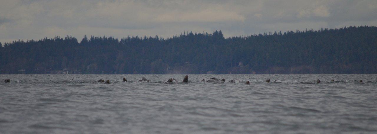 07 California sea lion approaching.jpg