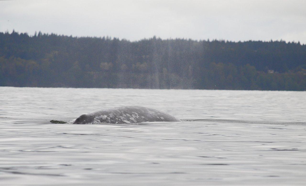08 Gray whale spouts.JPG