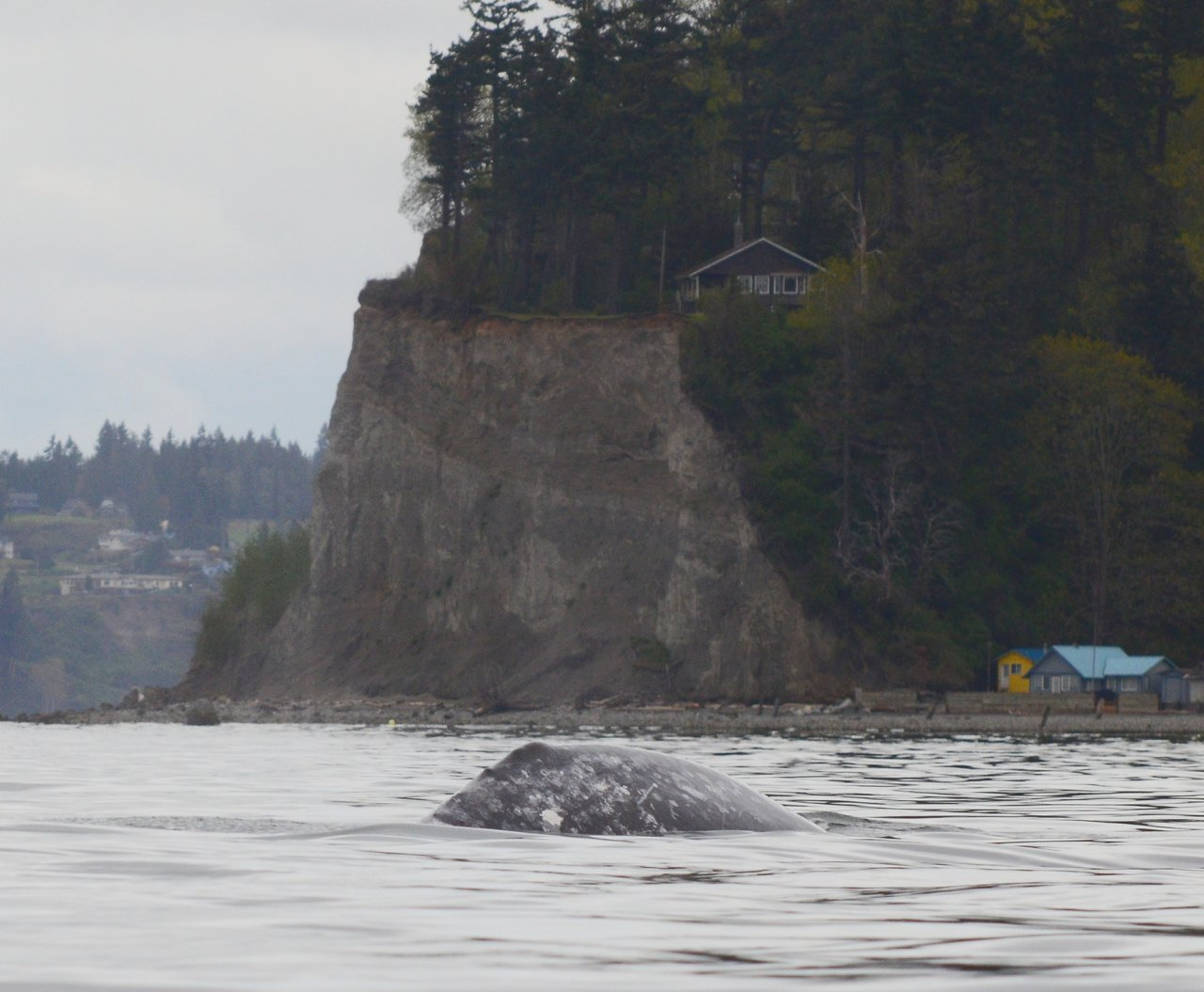 09 Gray whale near Hat Island.JPG