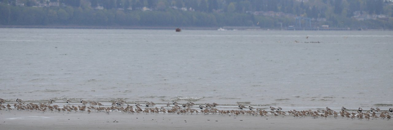 12 Dunlin and plovers.JPG