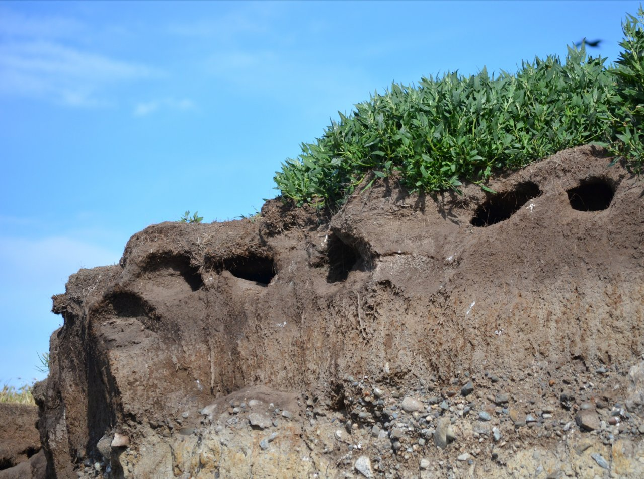 12 Seabird burrows on Smith Island.JPG