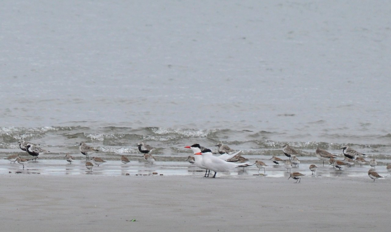 13 Caspian terns.JPG