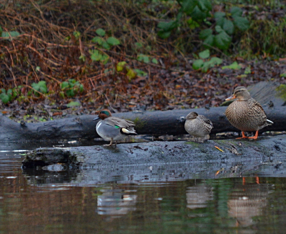 13 Green-winged teal and mallard.JPG