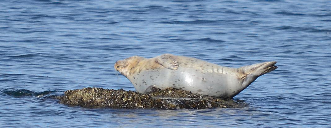 16 Basking harbor seal.JPG
