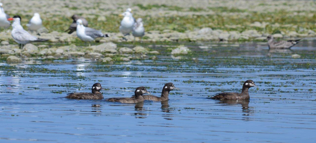 21 Harlequin ducks Caspian tern CA gull.JPG
