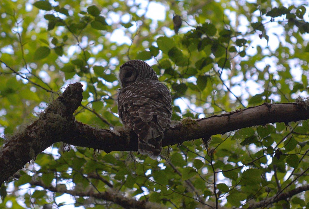 DSC_0047 owl.JPG
