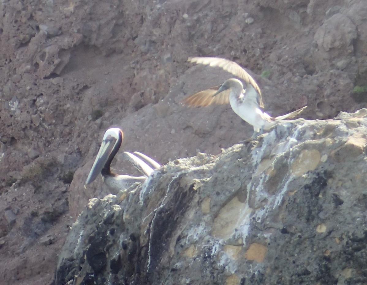 water-boobie&pelican.JPG
