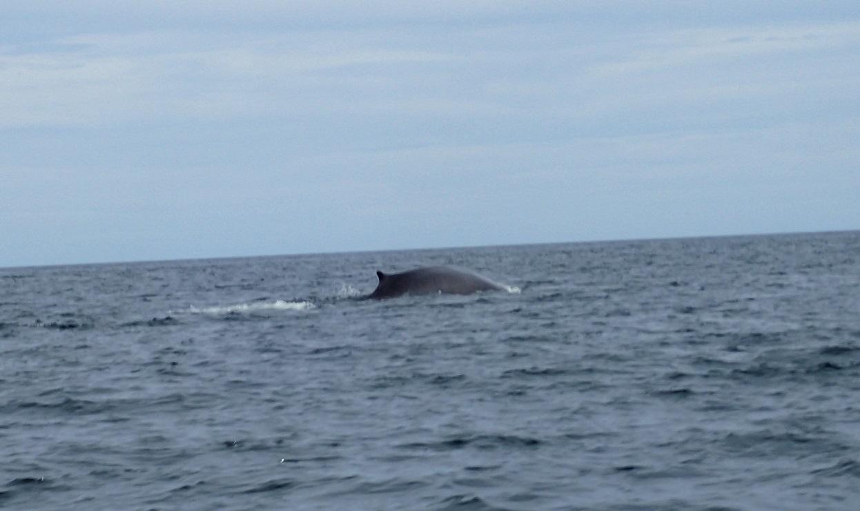 whales-finwhale.JPG