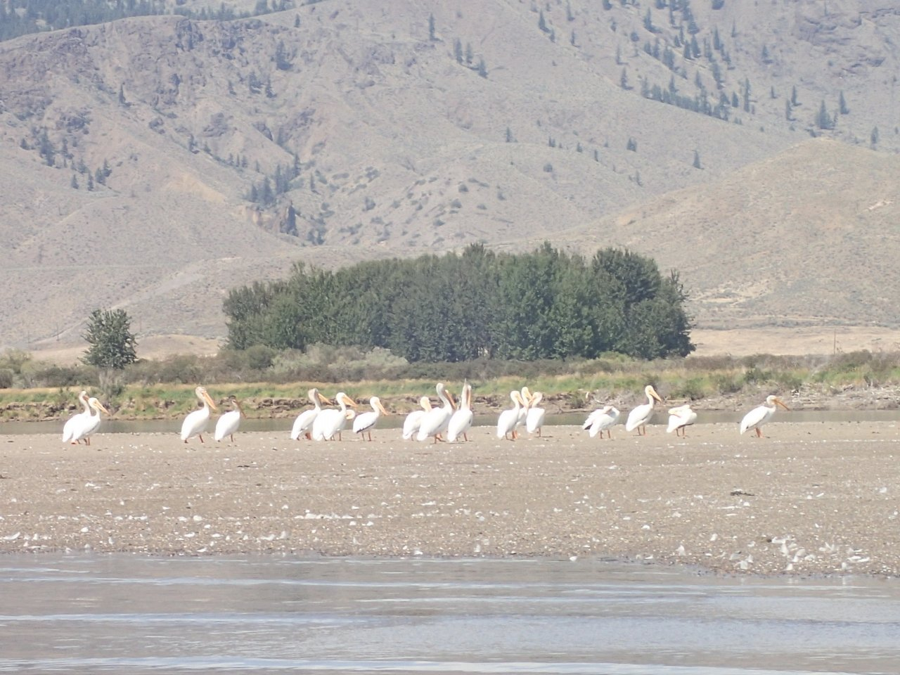 Yes, we are white pelicans.jpg